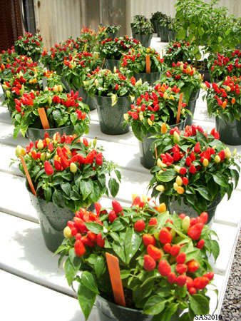 Image of ...Chili Plants in the Greenhouse