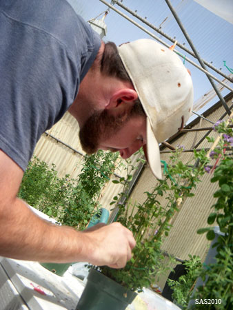 Image of ...Shane Heleckson, Undergraduate Research Assistant, Hand Pollinating Alfalfa